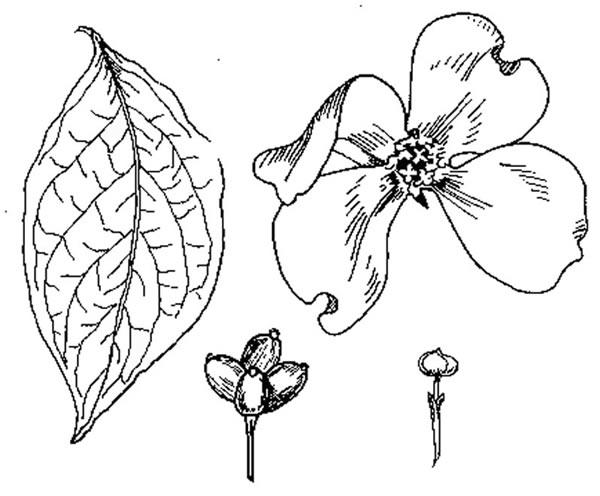 Cornus Blossom coloring #6, Download drawings
