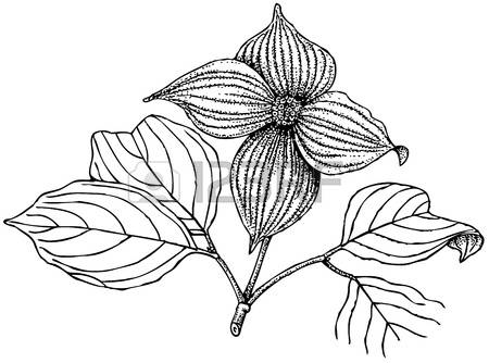 Cornus Blossom coloring #8, Download drawings