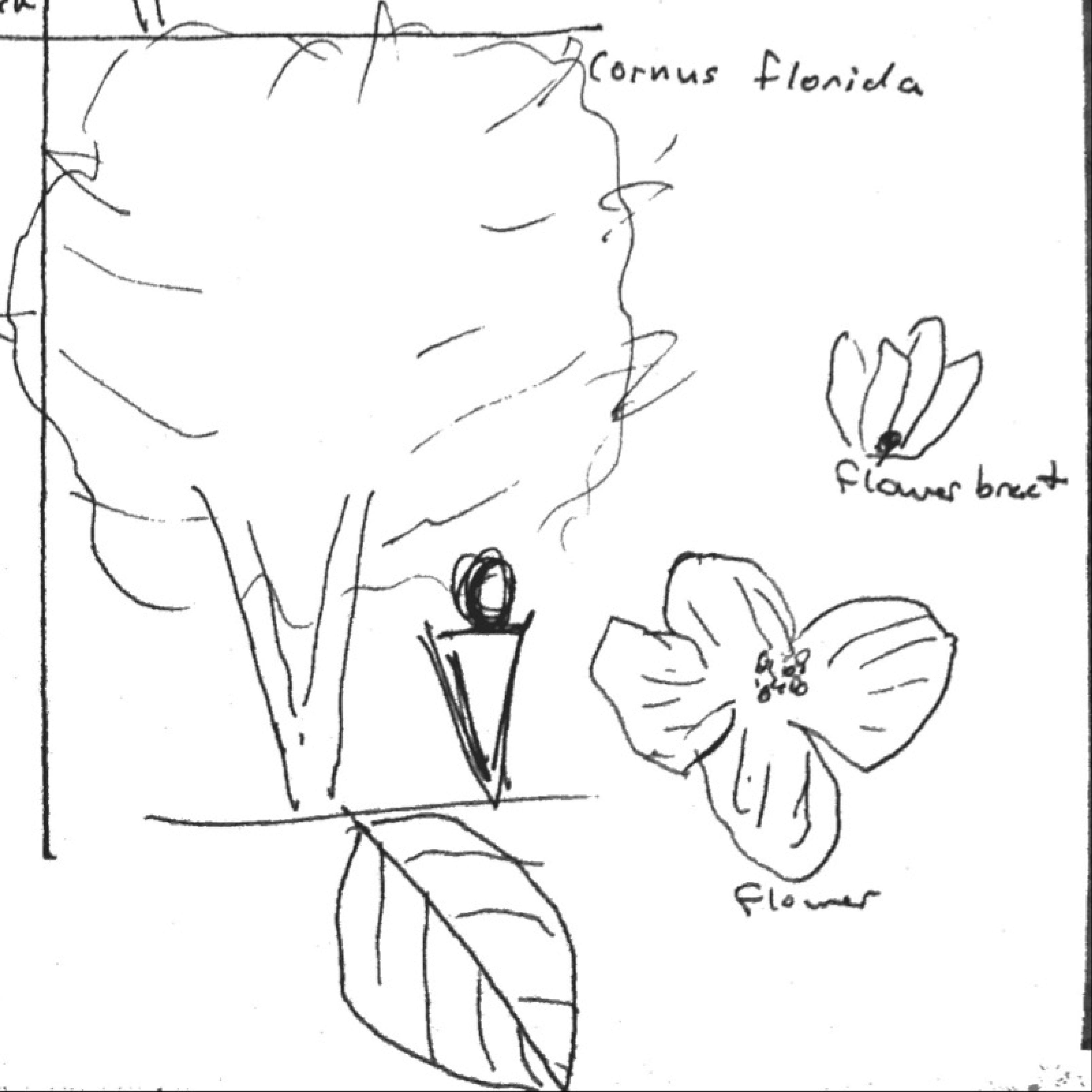 Cornus Blossom coloring #1, Download drawings