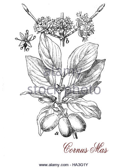 Cornus Blossom coloring #7, Download drawings