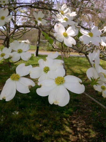 Cornus Blossom svg #10, Download drawings
