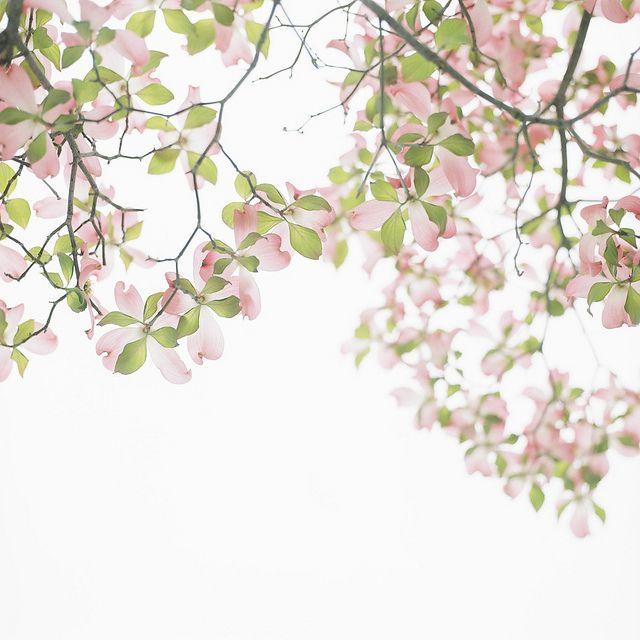 Cornus Blossom svg #12, Download drawings