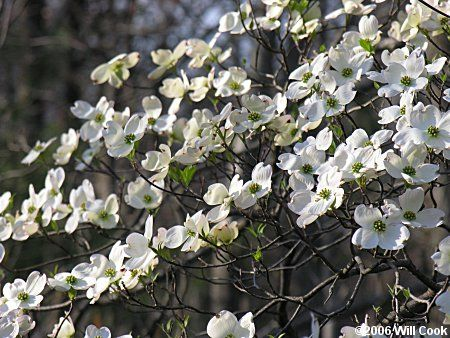 Cornus Blossom svg #15, Download drawings