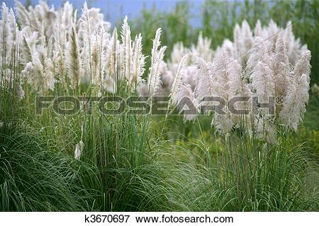 Cortaderia Selloana clipart #20, Download drawings