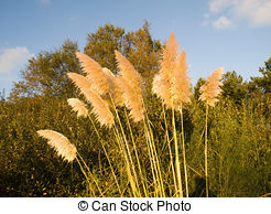 Cortaderia Selloana clipart #9, Download drawings