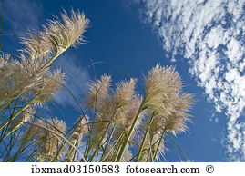 Cortaderia Selloana clipart #16, Download drawings