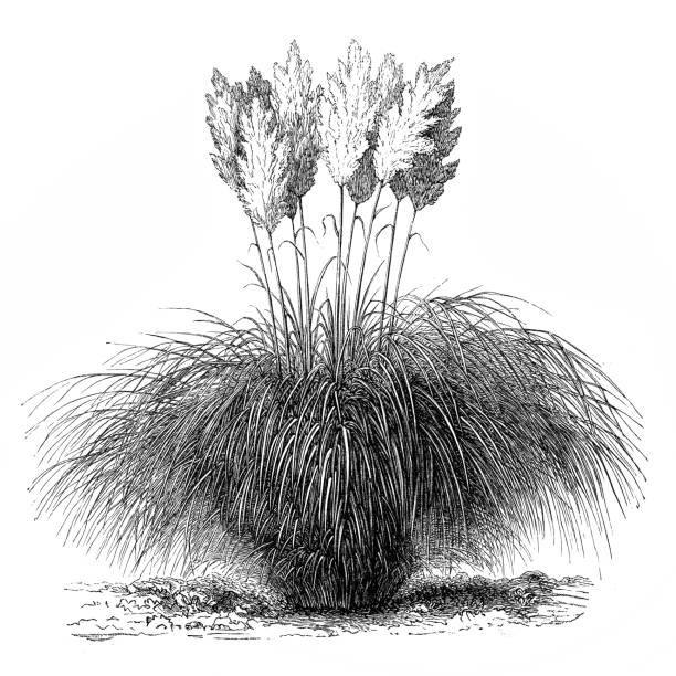 Cortaderia Selloana clipart #2, Download drawings