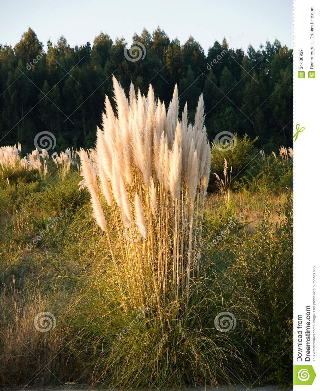 Cortaderia Selloana clipart #4, Download drawings