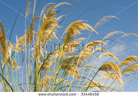 Cortaderia Selloana clipart #6, Download drawings