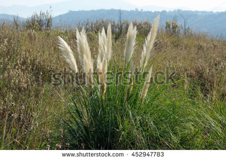 Cortaderia Selloana clipart #5, Download drawings