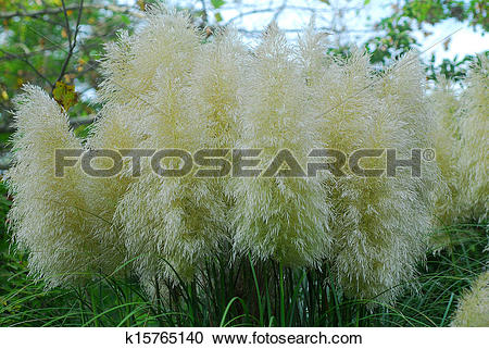 Cortaderia Selloana clipart #13, Download drawings