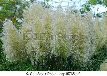 Cortaderia Selloana clipart #18, Download drawings