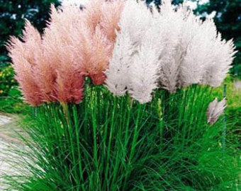 Pampas Grass svg #10, Download drawings