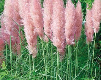 Pampas Grass svg #8, Download drawings