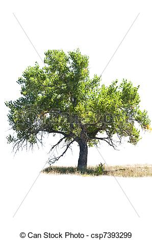 Cottonwood Trees clipart #10, Download drawings