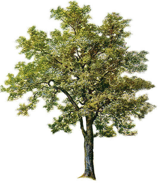 Cottonwood Trees clipart #6, Download drawings