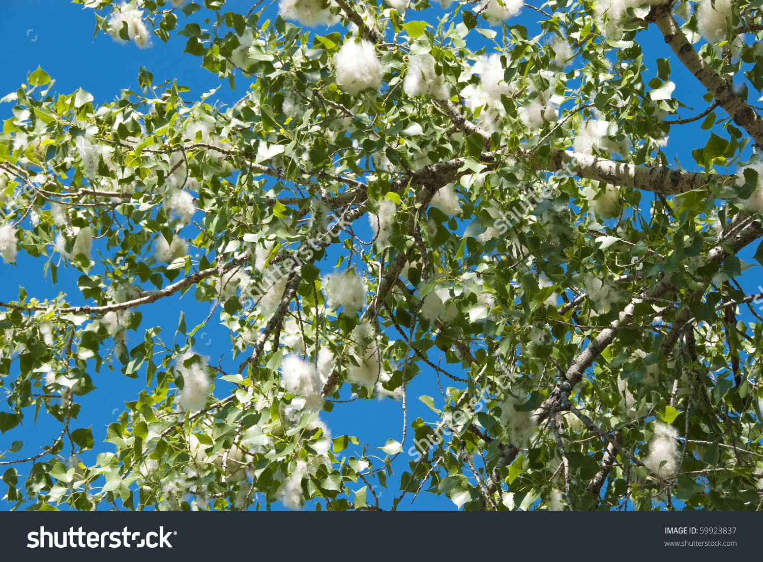 Cottonwood Trees clipart #2, Download drawings
