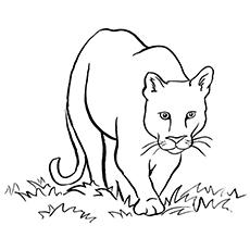 Cougar coloring #4, Download drawings