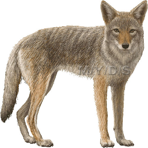 Coyote clipart #6, Download drawings