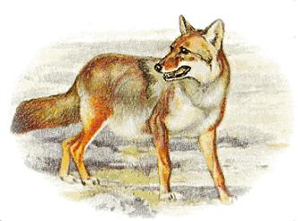 Coyote clipart #8, Download drawings