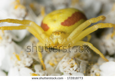 Crab Spider clipart #5, Download drawings
