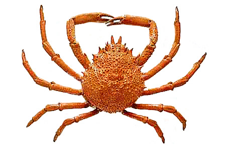 Crab Spider clipart #19, Download drawings