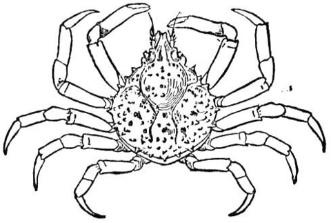 Crab Spider coloring #10, Download drawings