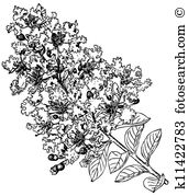 Crape Myrtle clipart #9, Download drawings