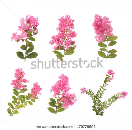 Crape Myrtle clipart #16, Download drawings