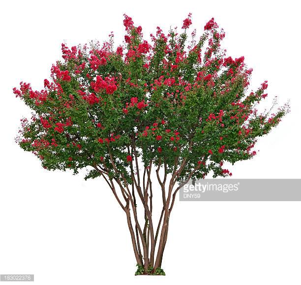 Crape Myrtle clipart #12, Download drawings