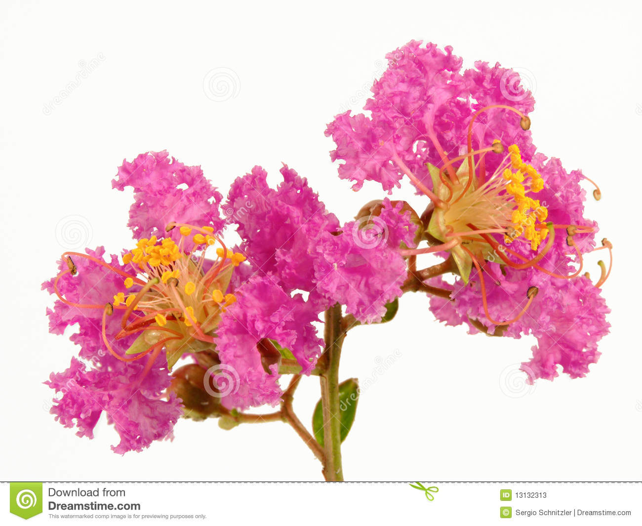 Crape Myrtle clipart #17, Download drawings