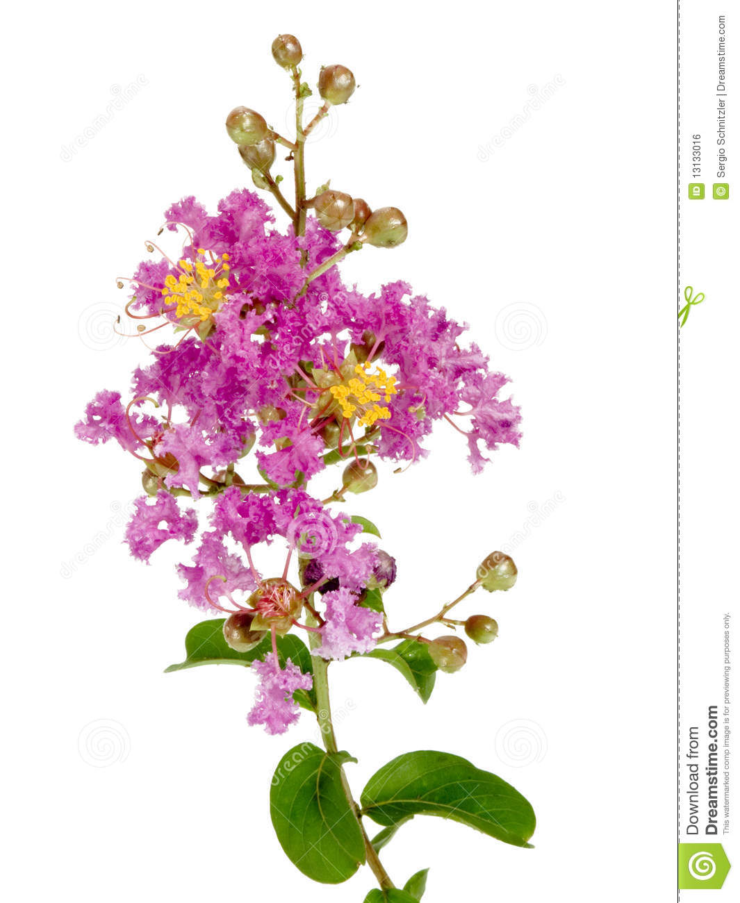 Crape Myrtle clipart #14, Download drawings