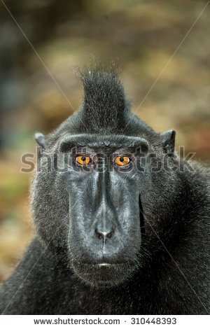 Crested Black Macaque clipart #11, Download drawings