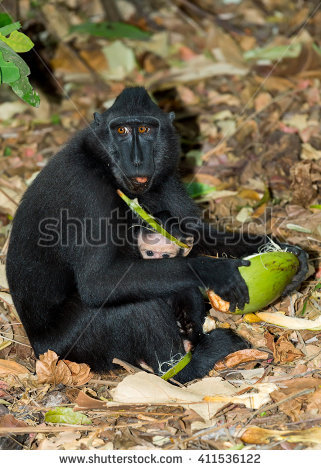 Crested Black Macaque clipart #5, Download drawings