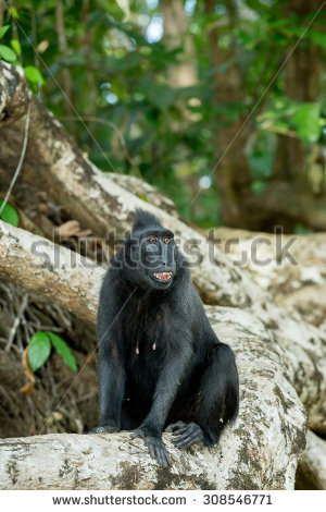Crested Black Macaque clipart #8, Download drawings