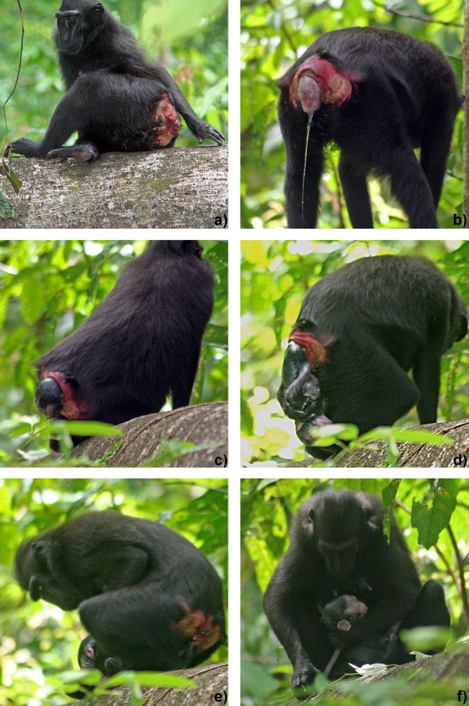 Crested Black Macaque clipart #3, Download drawings