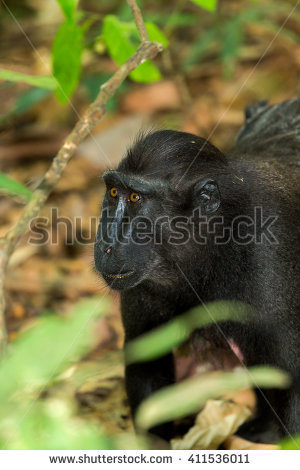 Crested Black Macaque clipart #7, Download drawings