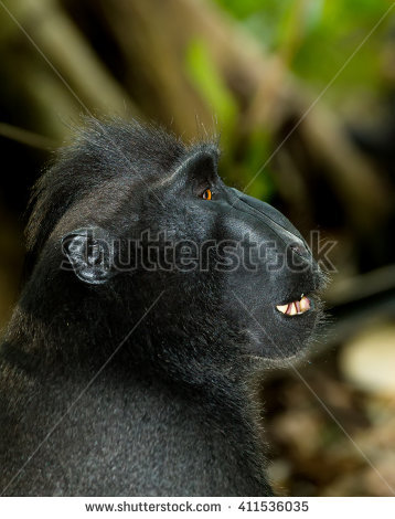 Crested Black Macaque clipart #6, Download drawings