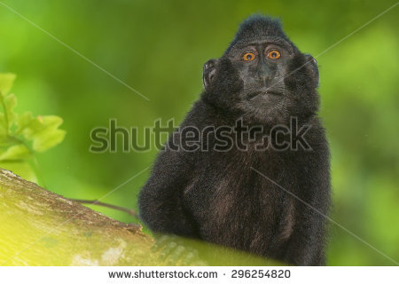 Crested Black Macaque clipart #4, Download drawings