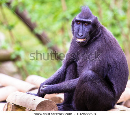 Crested Black Macaque clipart #20, Download drawings