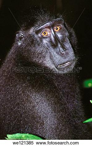 Crested Black Macaque clipart #16, Download drawings