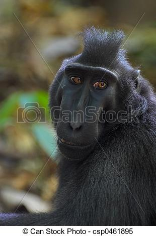Crested Black Macaque clipart #13, Download drawings