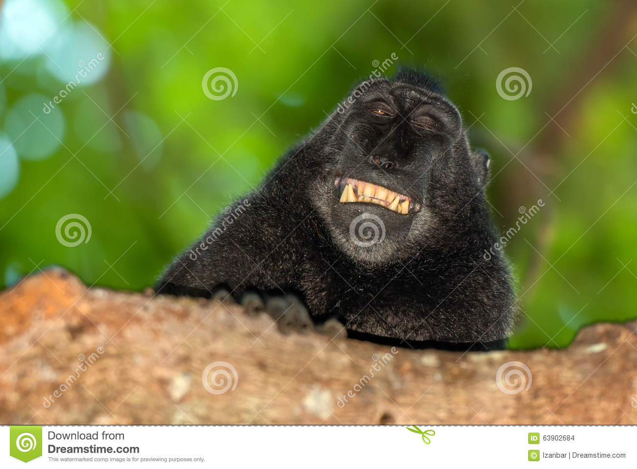 Crested Black Macaque clipart #14, Download drawings