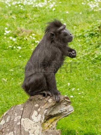 Crested Black Macaque coloring #11, Download drawings