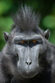 Crested Black Macaque coloring #6, Download drawings