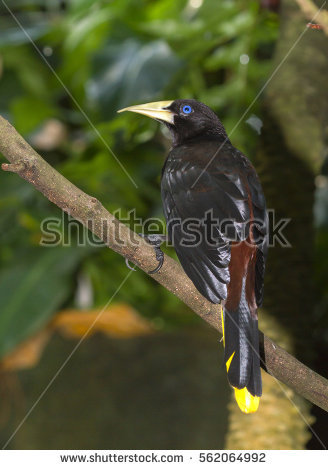 Crested Oropendola clipart #17, Download drawings