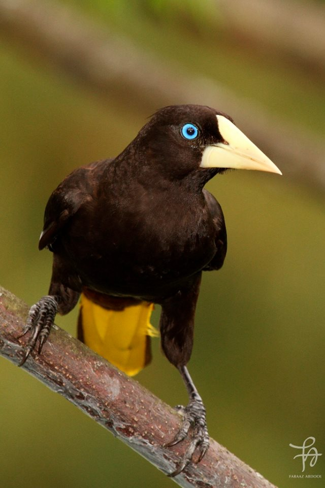 Crested Oropendola coloring #19, Download drawings
