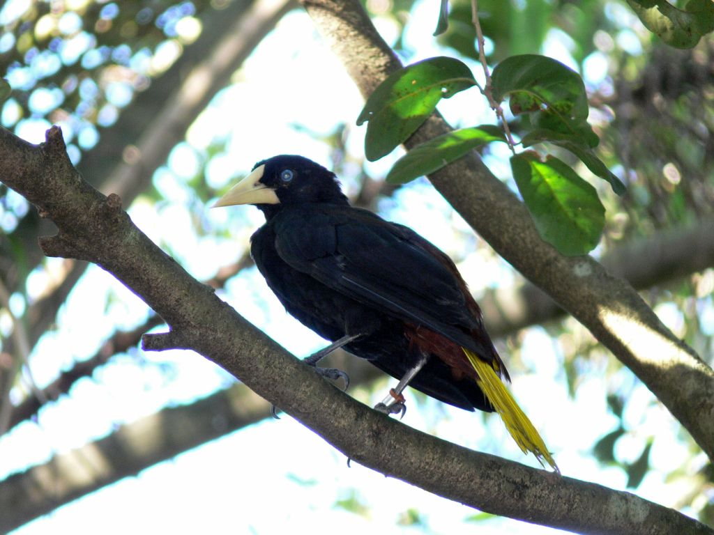 Crested Oropendola coloring #10, Download drawings