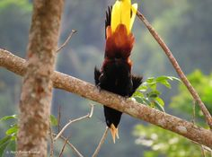 Crested Oropendola coloring #12, Download drawings