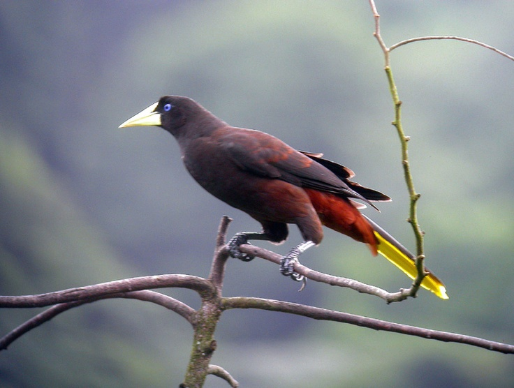 Crested Oropendola coloring #4, Download drawings